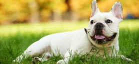 Health problems of short-muzzled dogs widely unknown to owners