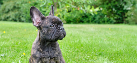 Extreme breeding of short-muzzled dogs must be stopped, CVMA says