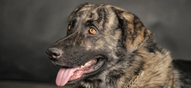 Delay neutering of large mixed-breed dogs, study says